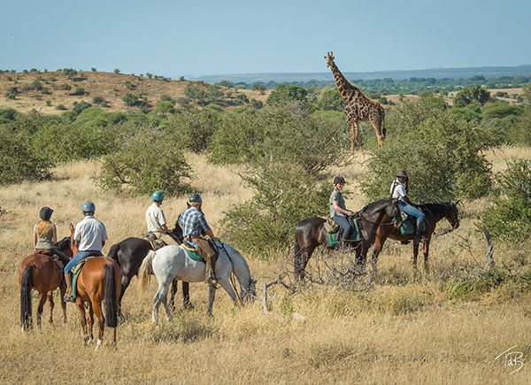 Horseback riding with giraffe