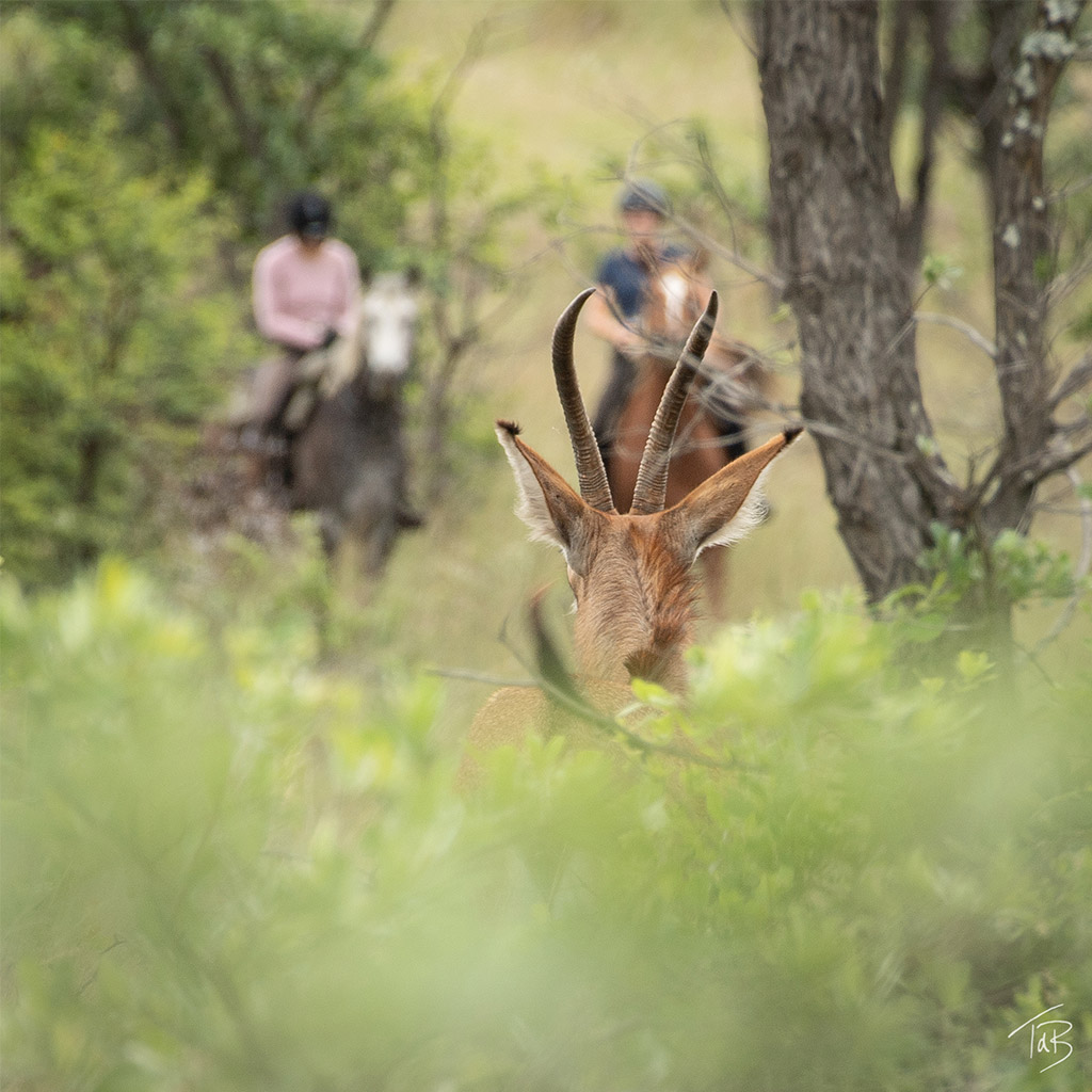 Horseback riding with Roan antelope