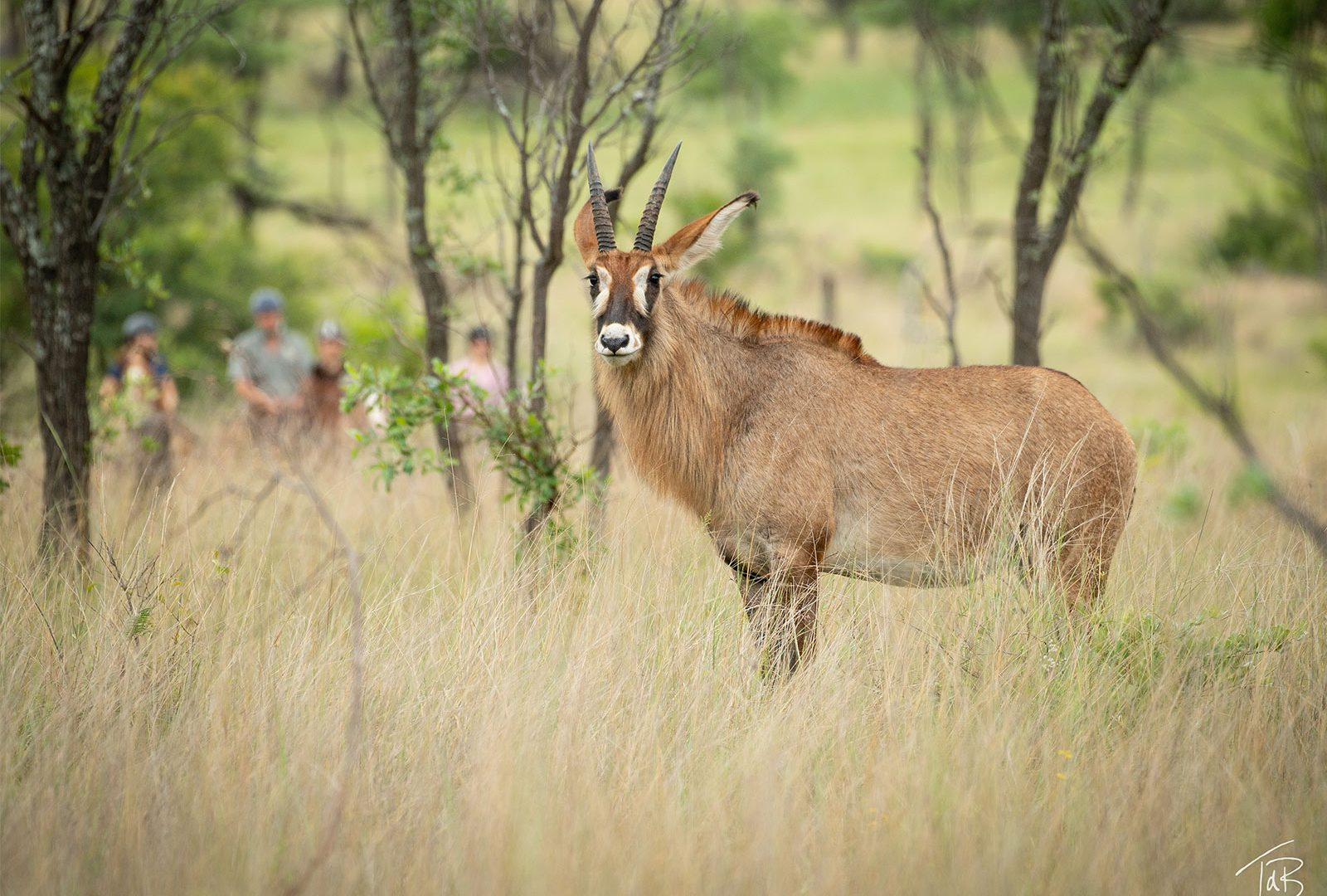 Riding with roan antelope